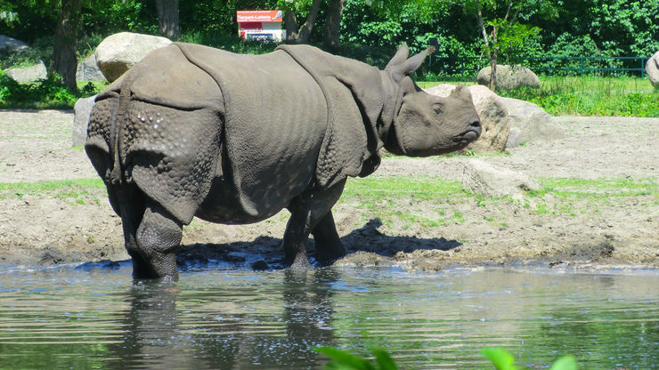 An Asian Rhino in Tierpark Zoo