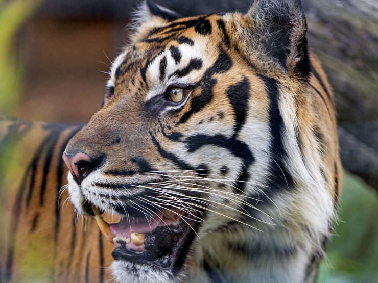 Close-up look at a Sumatran Tiger in the Berlin Zoo