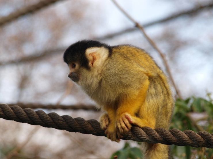 Black Capped Squirrel Monkey at the London Zoo - Bet You Think he's Cute