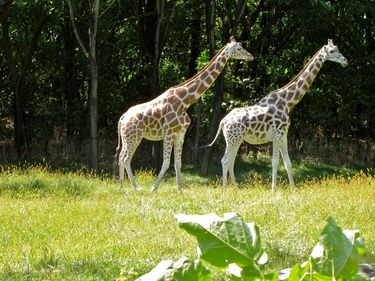Two giraffes stands tall among the trees in the Bronx Zoo