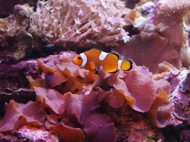 A Clownfish blends with its surroundings at the Tropical Aquarium in Palais de la Porte Doree