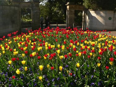 Blazing Tulips in the Royal Botanic Gardens