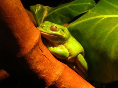 A frog blending with its habitat at the Sydney Aquarium