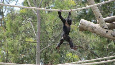 Ape on a rope!