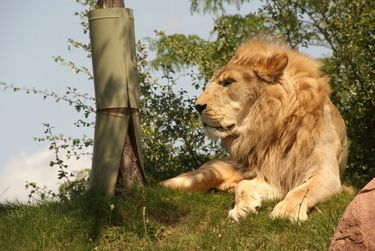 A majestic lion watches over the Toronto Zoo