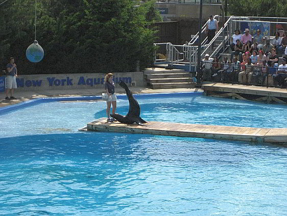 A seal performs at the New York Aquarium