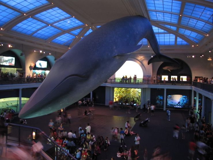 Blue Whale exhibit in the AMNH