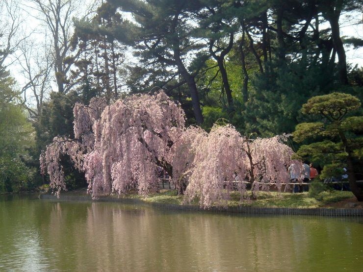 Spring is cherry blossom time at the Brooklyn Botanical Garden