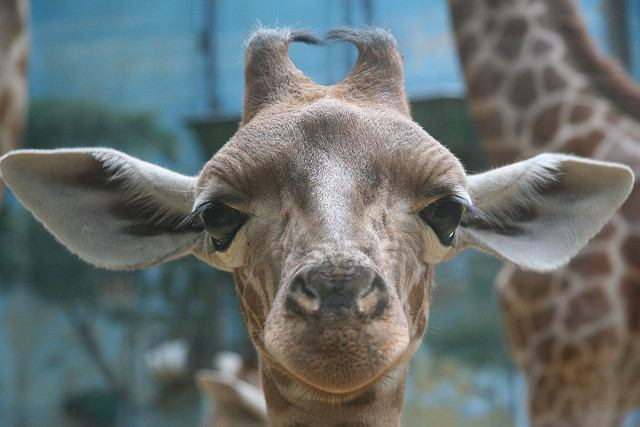 A young giraffe welcomes visitors to Parc Zoologique de Vincennes