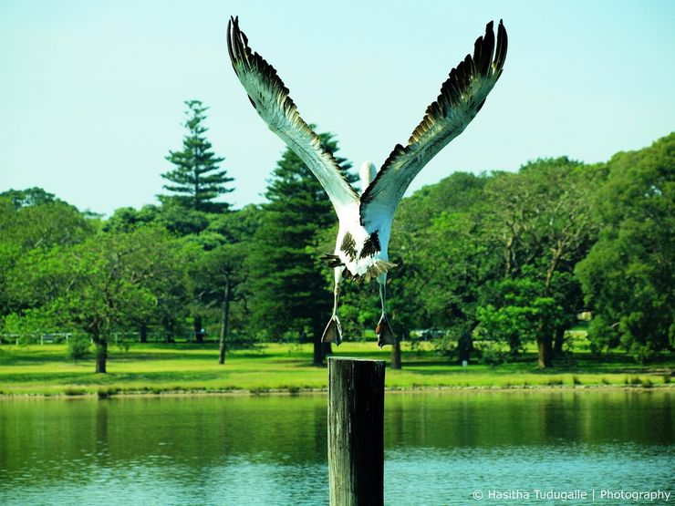A pelican takes to the air at Centennial Park in Sydney