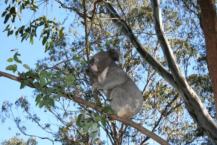 A Koala Bear checking out the view from a tree at Featherdale Wildlife Park
