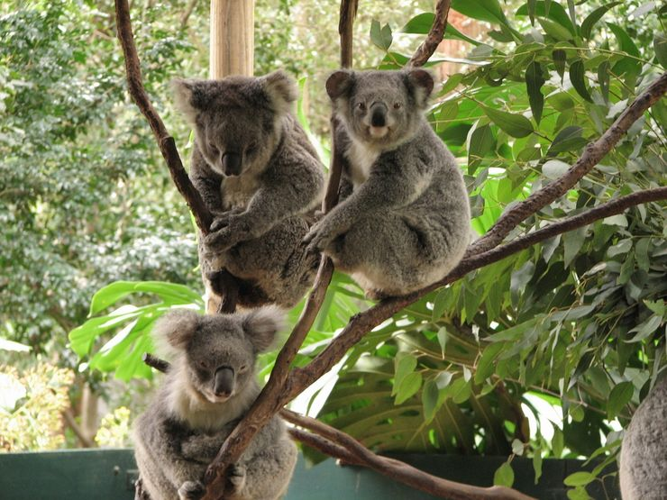 A rare moment - three Koalas awake at the same time