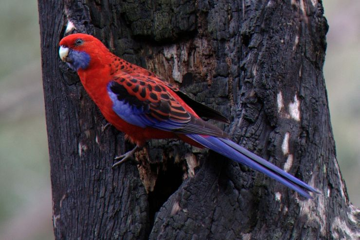 Crimson Rosella captured on camera at Lane Cove National Park