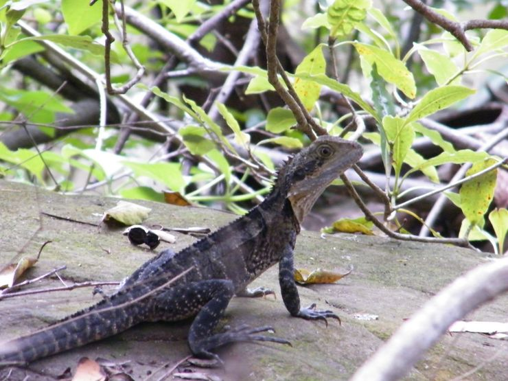 An Eastern Waterdragon along the walking path Lane Cove National Park