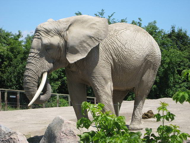 What would a zoo be without elephants?