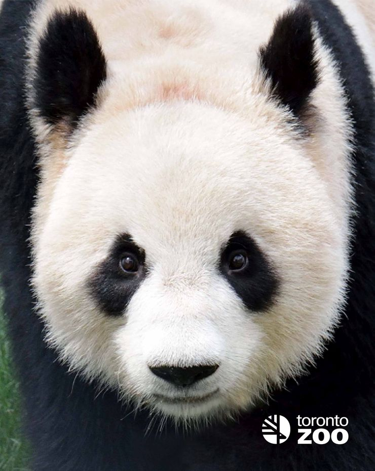 Come face to face with Canada's only giant pandas in the Toronto Zoo