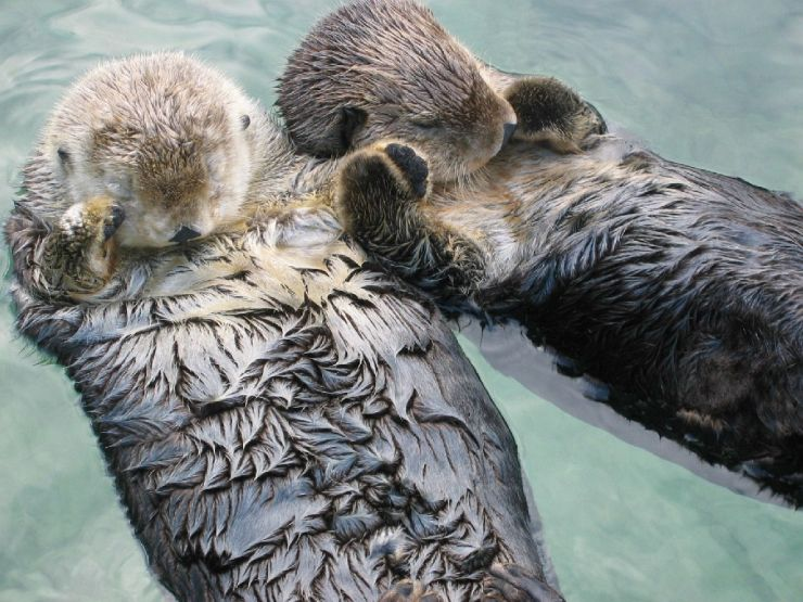 Sea Otters holding hands at Vancouver Aquarium